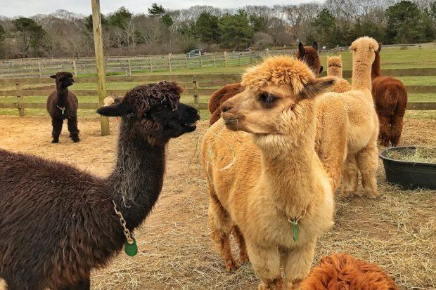 Martha's Vineyard Alpacas
